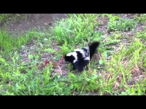 Cute baby skunks! I pet them! - YouTube