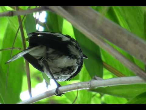 Song or Calls of Oriental Magpie-Robin  (Copsychus saularis)