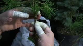 видео Сосна горная Пумилио: посадка и уход, особенности выращивания и размножения