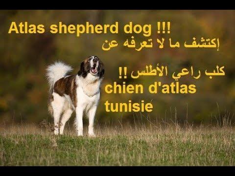 dressage de chien tunisie إكتشف ما لا تعرفه عن كلب راعي الأطلس atlas shepherd dog