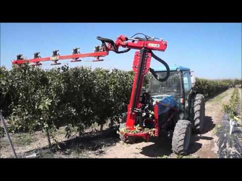 Super high density citrus mechanical pruning