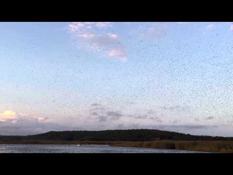 Tree Swallow Migration on the Connecticut River