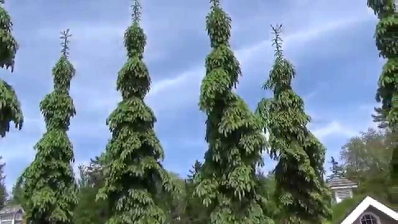 Weeping White Spruce Trees