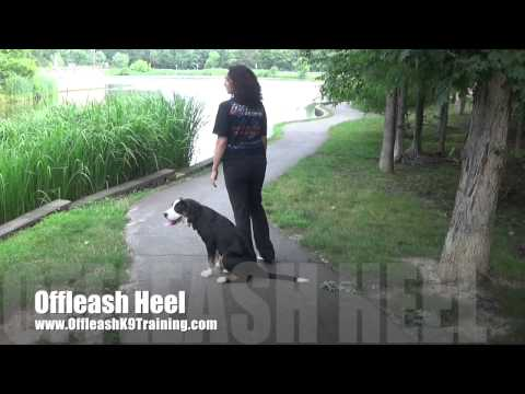 5-Month Old Swiss Mountain Dog 'Delta;' Greater Swiss Mountain Dog Training