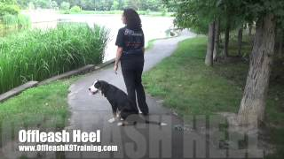 "5-month Old Swiss Mountain Dog ""delta;"" Greater Swiss Mountain Dog Training"