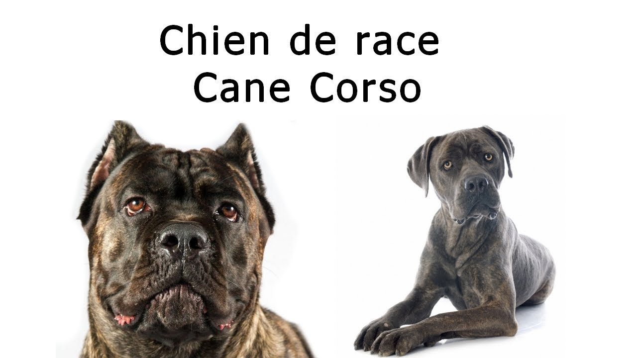 chien de race cane corso youtube. Black Bedroom Furniture Sets. Home Design Ideas