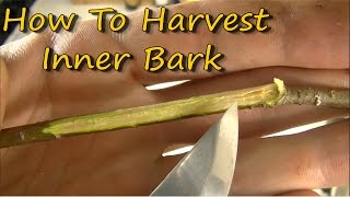Harvesting Inner Bark For Medicine
