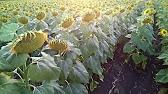 Посев подсолнуха Сады Украины