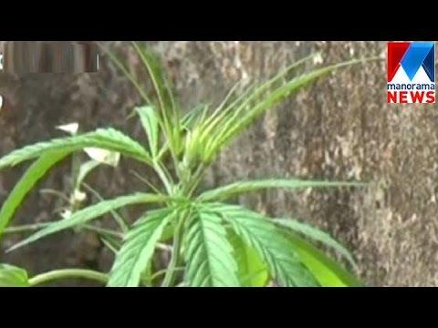 Ganja plant seized in excise raid | Manorama News