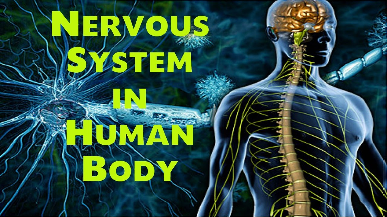 Nervous System In Human Body Biology Lecture For Ssc Nda Cds