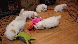 Coton Puppies For Sale - Peaches 10/23/19