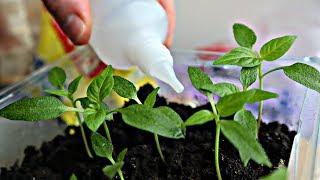 Копеечный аптечный раствор а что творит с рассадой!!! Зелень прет как после грозы!
