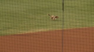 Eight Of El Paso's Fastest Dachshunds Race