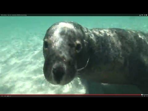 Sea lion underwater