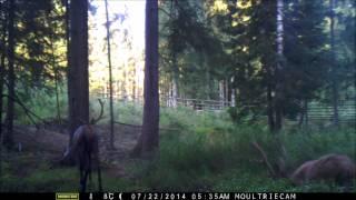 Zwierzęta Puszczy Boreckiej - Jelenie Byki, Łoś i Kuna Leśna