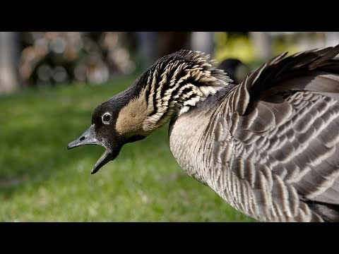 FUNNIEST Geese Attack Compilation - MUST SEE Angry Goose video - Goose Attacks Dog [NEW HD] from YouTube · Duration:  2 minutes 52 seconds