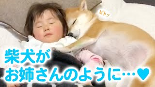 "(ENG Sub) Once the baby was born, my Shiba Inu became the sweetest ""big sister"" ever!"