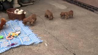 Little Rascals Uk Breeders New Litter Of Pedigree Golden Cocker Spaniels