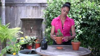 How to Water a Basil Plant : The Chef's Garden