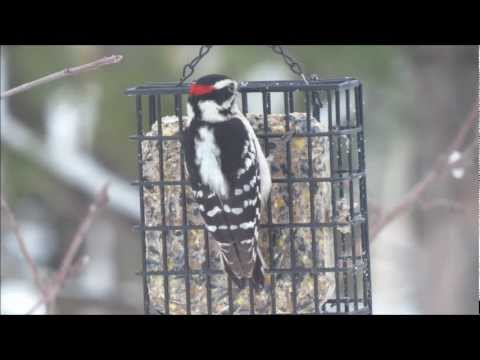 Downy Woodpecker - pik,pik,pik, chik,chik,chik - It's sound is close to a mouse