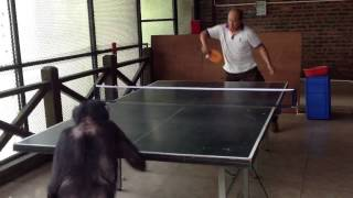 上手上手!おじちゃんとピンポンを楽しむチンパンジー