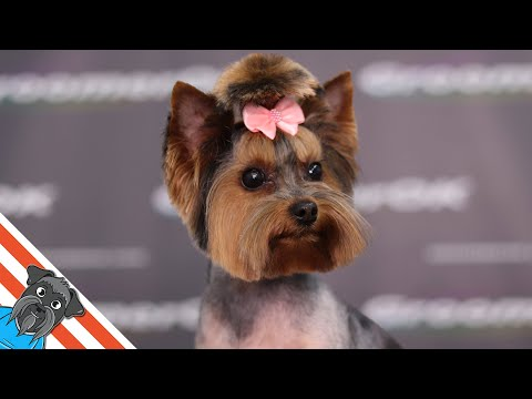 Full grooming Yorkshire terrier