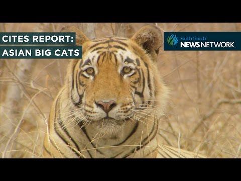 CITES Species Report: Asian Big Cats