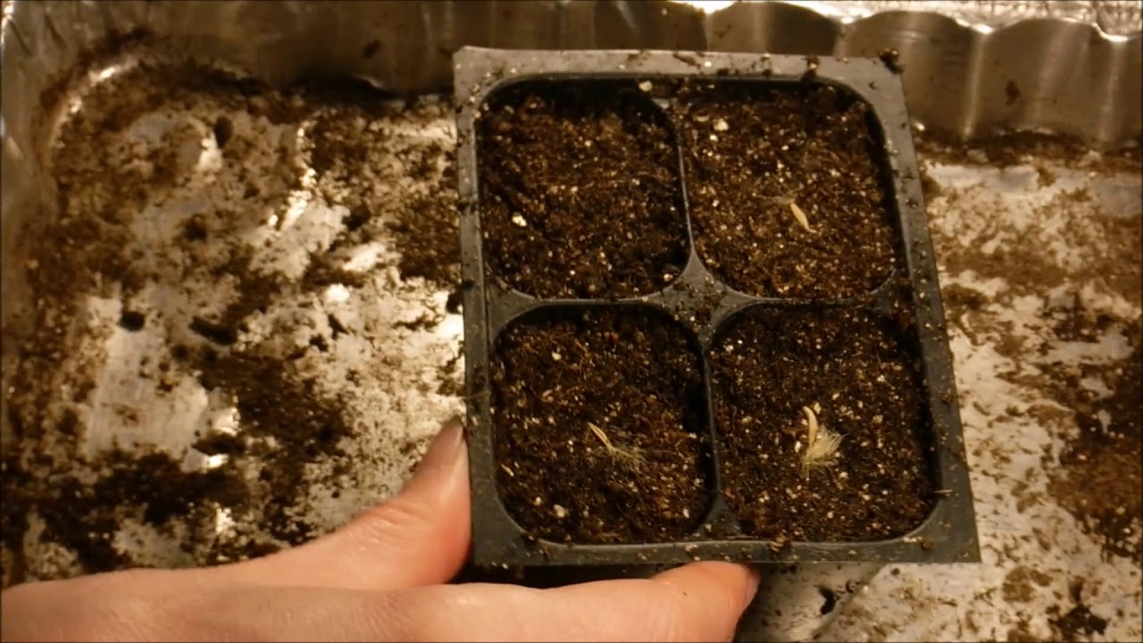 How To Grow Gerbera Daisy From Seed Germinate Seeds