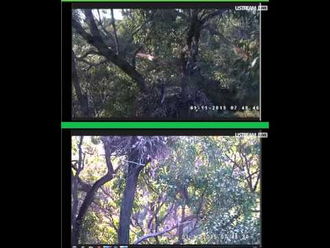 WBSE cam  Great shot of location where SE 15 is now roosting below the nest area 11-1-15