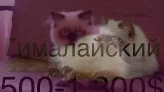 Дорогие котята и их цена