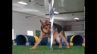 German Shepherd Lab Mix - Tunnel To Weave Poles