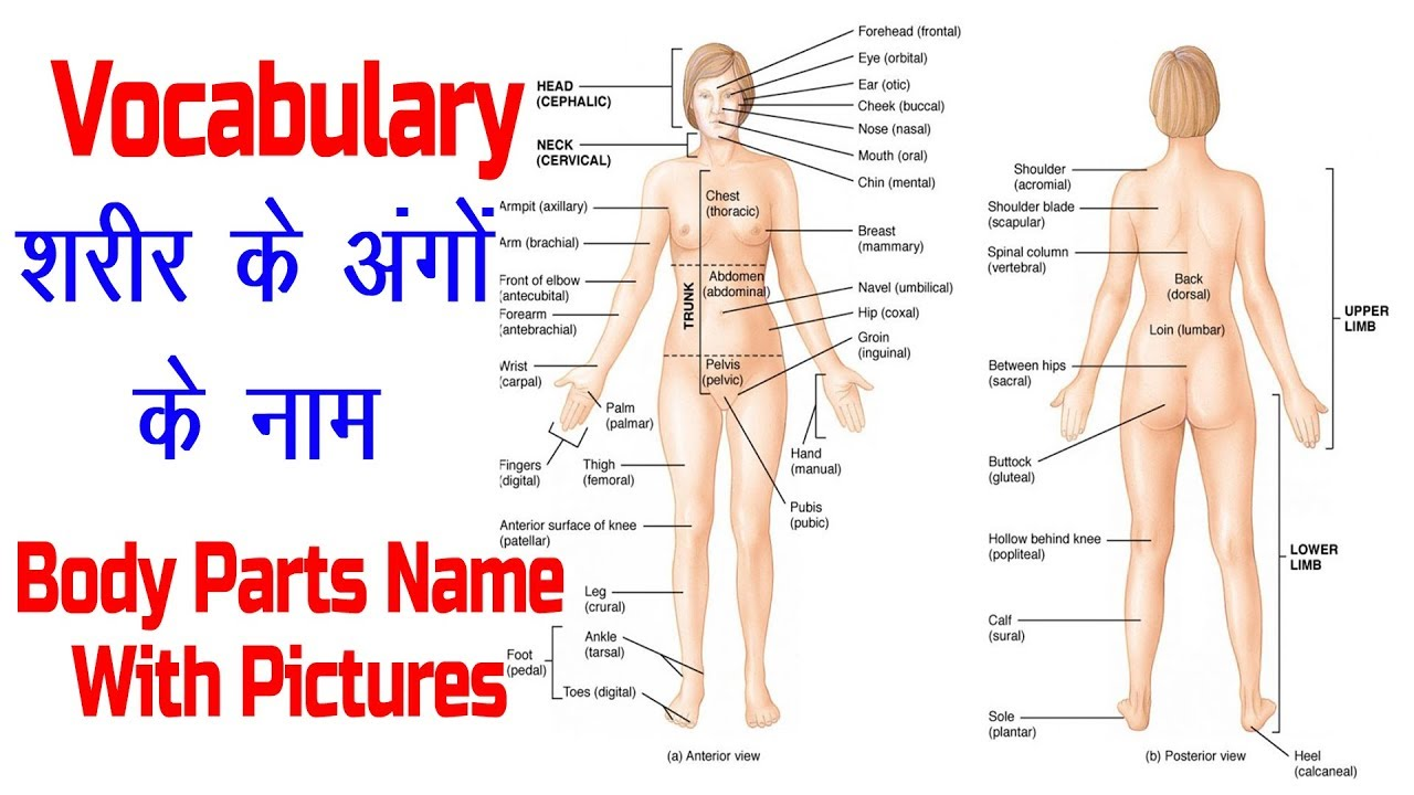 Body Parts Name with Picture and Hindi Meaning !! ENGLISH VOCABULARY !!