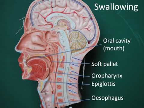 Gastrointestinal anatomy and physiology, Part 2