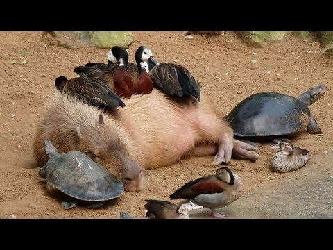 Why Do Animals Like Capybaras So Much? - This capybara is the world's most chilled animal