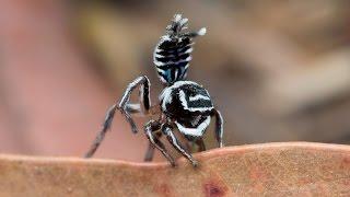Peacock Spider 17  (Maratus sceletus)