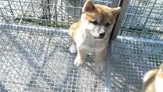 柴犬寶寶曬太陽