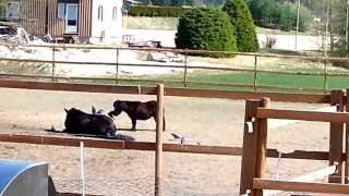 Horses are annoyed and irritated by birds