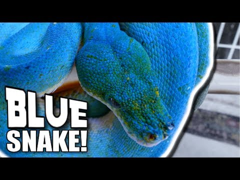 A REAL BLUE TREE SNAKE!!! | BRIAN BARCZYK