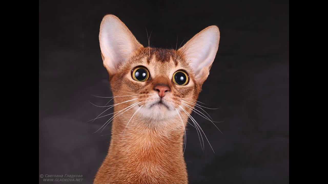 abyssinian cat for sale new york - YouTube