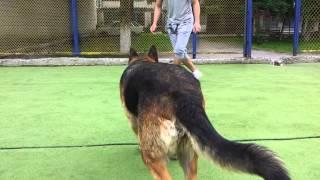 Играем в футбол с немецкой овчаркой.Винница.Колос