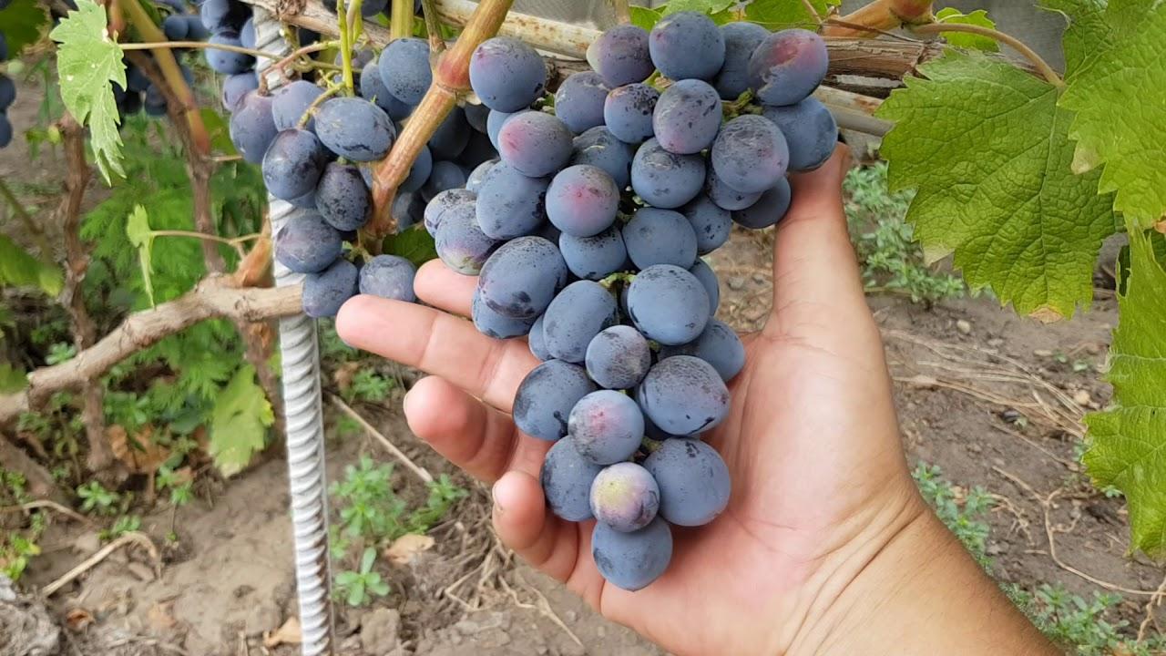 виноградо знакомсва