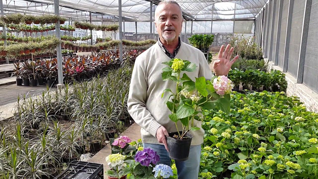 Hortensias colores unidspack hydrangea semillas balcn en for Hortensias cultivo y cuidados