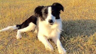 ドックランで出会った ボーダーコリーの四ヶ月の仔犬 テオくん.