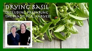 How to Dry Basil Leaves, Including Preparing the Plant for Harvest