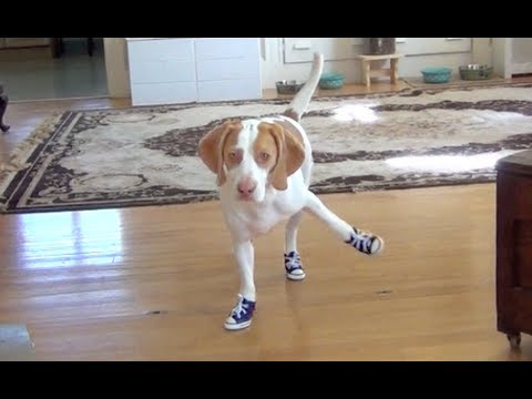 Dog Has Trouble Walking in Sneakers:  Cute Dog Maymo