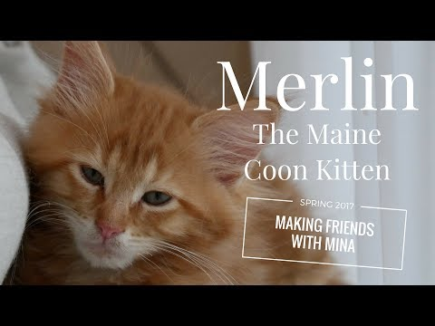 Merlin the Maine Coon Kitten (12 Weeks) - Making Friends with Mina