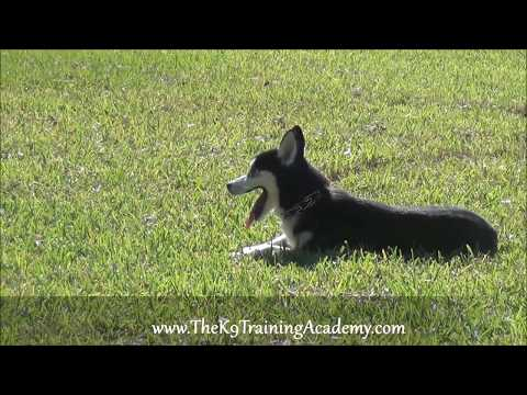 The K9 Training Academy - Husky with Basic Obedience