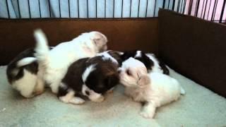 Buttercup's Shih Tzu Puppies Born March 19, 2015