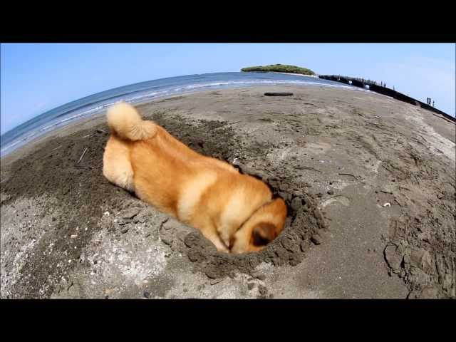 Maru on the beach ~It's my job~