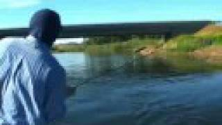 406 productions - huge brown and rainbow trout eat drys on missouri river